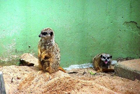 Suricatas. Zoológico de São Paulo. Imagem: Fábio Brito.