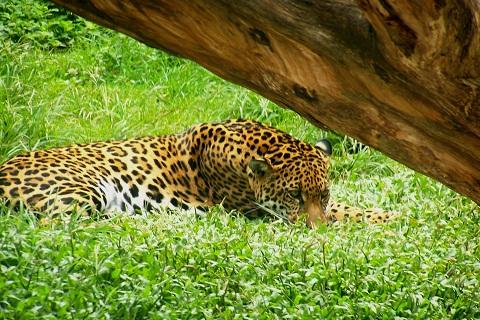Grandes predadores, como a onça pintada, fascinam os visitantes. Imagem: Fábio Brito (Arquivo Jeguiando)