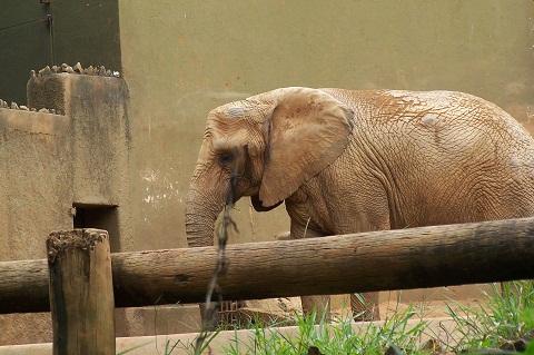 Elefante. Zoológico de São Paulo. Imagem: Fábio Brito (Arquivo Jeguiando)