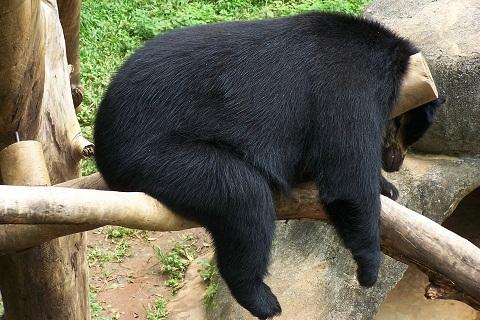 Urso preguicento. Zoológico de São Paulo. Imagem: Fábio Brito (Arquivo Jeguiando)