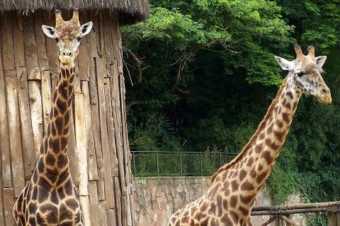 Girafas. Zoológico de São Paulo. Imagem: Janaína Calaça