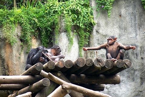 Chimpanzés. Zoológico de São Paulo. Imagem: Fábio Brito (Arquivo Jeguiando)