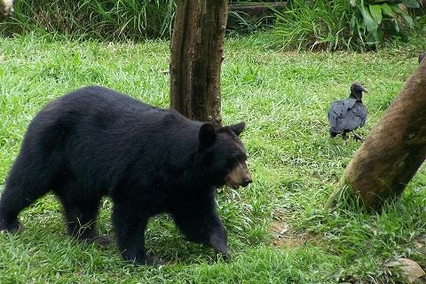 Urso negro. Zoológico de São Paulo. Imagem: (Arquivo Jeguiando)