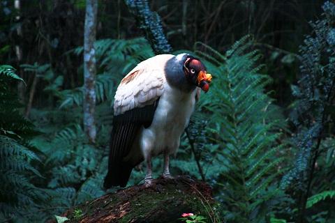 Urubu-rei. Parque das Aves. Foz do Iguaçu. Imagem: Erik Pzado.