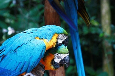 Araras. Parque das Aves. Foz do Iguaçu. Imagem: Erik Pzado.