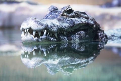 Crocodilo. Acqua Mundo. Guarujá, São Paulo. Imagem: Erik Pzado.