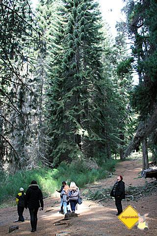Não, não somos Hobbits. As árvores é que são altas mesmo! Imagem: Erik Pzado.