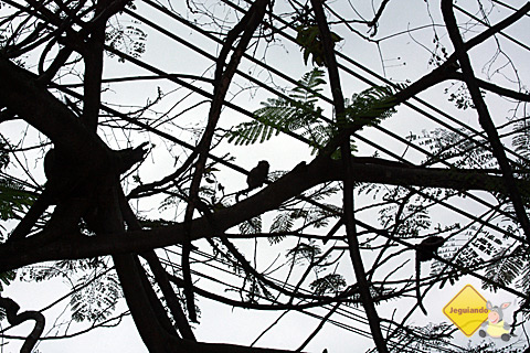Saguis espalhados pelas árvores de Santa Tereza. Imagem: Erik Pzado.
