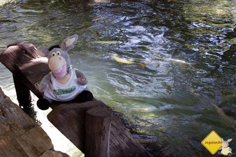 Jegueton se preparando para mergulhar nas águas do Balneário Municipal de Bonito, Mato Grosso do Sul. Imagem: Erik Pzado.