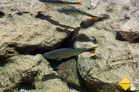 Peixe nas águas cristalinas do Rio Formoso. Balneário Municipal de Bonito, Mato Grosso do Sul. Imagem: Erik Pzado.