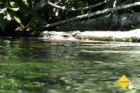 Jacaré na margem do Rio da Prata. Bonito, Mato Grosso do Sul. Imagem: Erik Pzado.