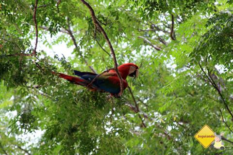 Arara Vermelha na Estância Mimosa. Bonito, Mato Grosso do Sul. Imagem: Erik Pzado.