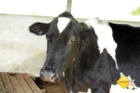 A vaca! Fazenda Serra do Vale, São Luiz do Paraitinga, SP. Imagem: Erik Pzado.