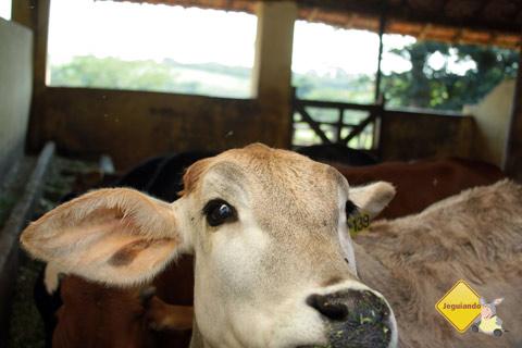 La Vaca. Santa Clara Eco Resort, Dourado, SP. Imagem: Erik Pzado.
