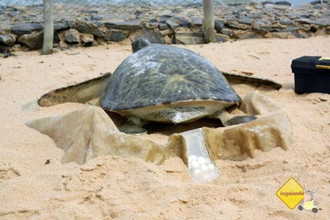 Representação da desova. Projeto TAMAR, Praia do Forte, Litoral Norte da Bahia. Imagem: Erik Pzado