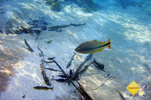 Amarelin e azul. Rio Sucuri, Bonito, MS. Imagem: Erik Pzado