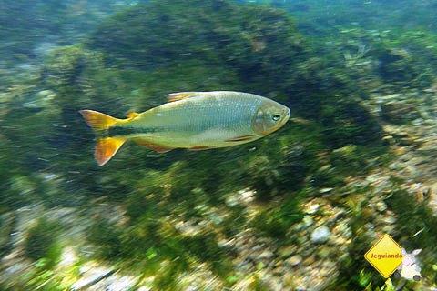 Peixe nadando contra a correnteza. Imagem: Erik Pzado
