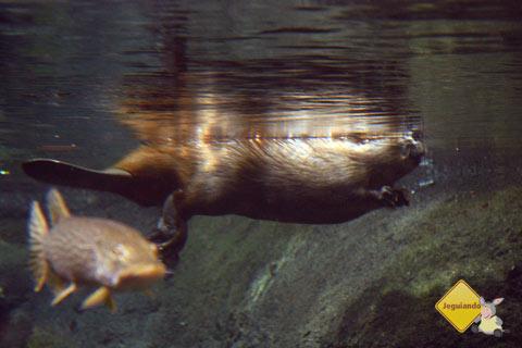 Castor serelepe. Biodome de Montreal, Canadá. Imagem: Erik Pzado