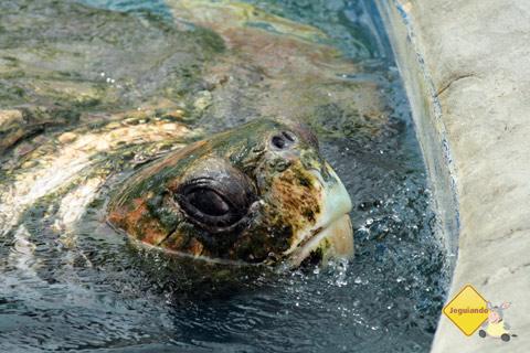 Projeto TAMAR cuida da preservação das tartarugas marinhas na Praia do Forte, Bahia. Imagem: Erik Pzado