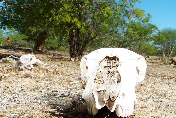 Lembrança do gado. Floresta do Navio, Pernambuco. Imagem: Arquivo Jeguiando