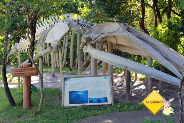 Esqueleto de Jubarte. Projeto Baleia Jubarte, Praia do Forte, Bahia. Imagem: Erik Pzado