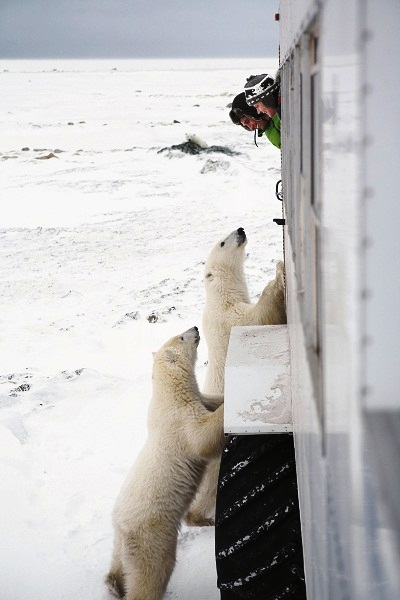Ver ursos polares de perto! Imagem: Ontario Tourism Marketing Partnership
