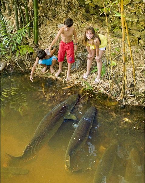 Pirarucus que vivem no lago em frente à pousada. Imagem: Haroldo Magalhães
