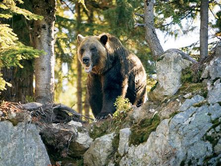 Um dos moradores de Grouse Mountain. Imagem: http://www.grousemountain.com/wildlife-refuge