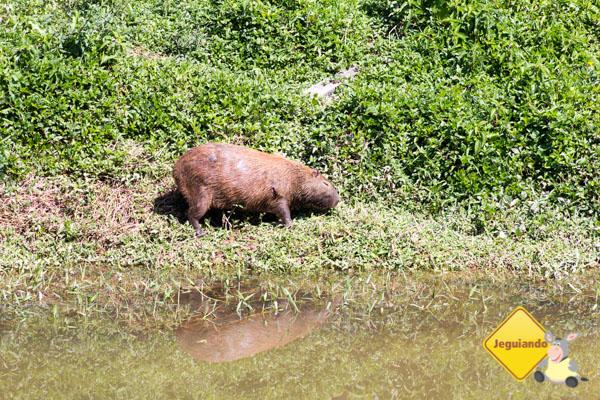 Capivara às margens do Rio Paraíba. Imagem: Janaína Calaça