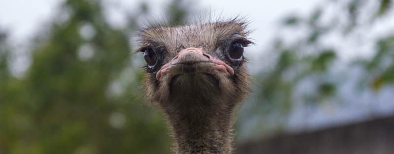 avestruz-001-2