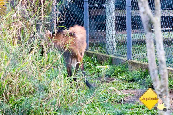 O tímido lobo-guará. Imagem: Erik Araújo