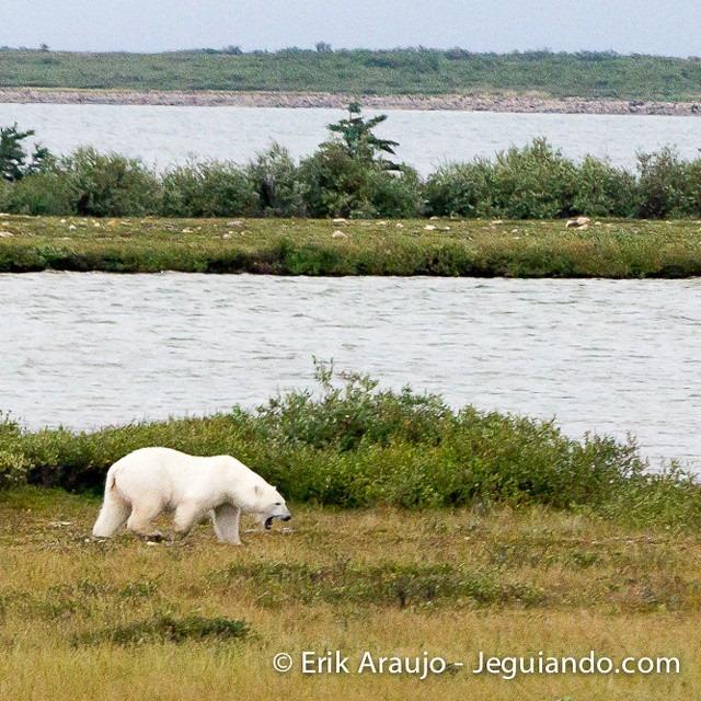 Avistamento de urso polar em Churchill. Imagem: Erik Araújo