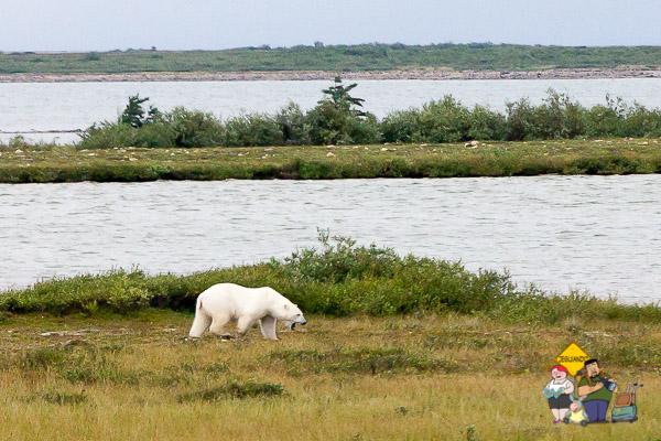 Urso polar reclamando. Imagem: Erik Araújo