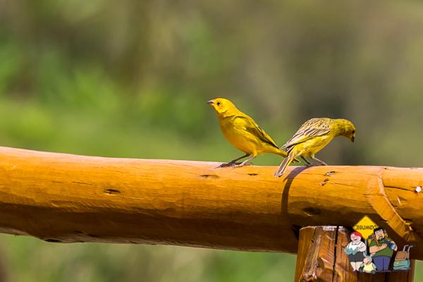 São Bento do Sapucaí é destino para entusiastas de birdwatching. Imagem: Erik Araújo