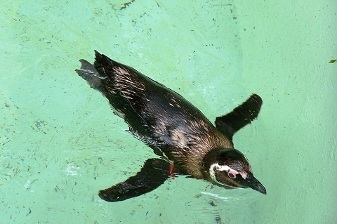 Pinguim. Zoológico de São Paulo. Imagem: (Arquivo Jeguiando)