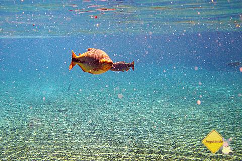 As águas cristalinas do Rio da Prata e o colorido de seus peixes. Bonito, Mato Grosso do Sul. Imagem: Erik Pzado.